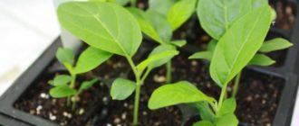высаживать рассаду баклажанов