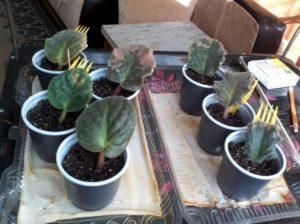 выращивание фиалки