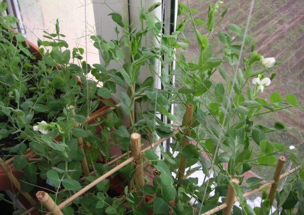 выращивания гороха