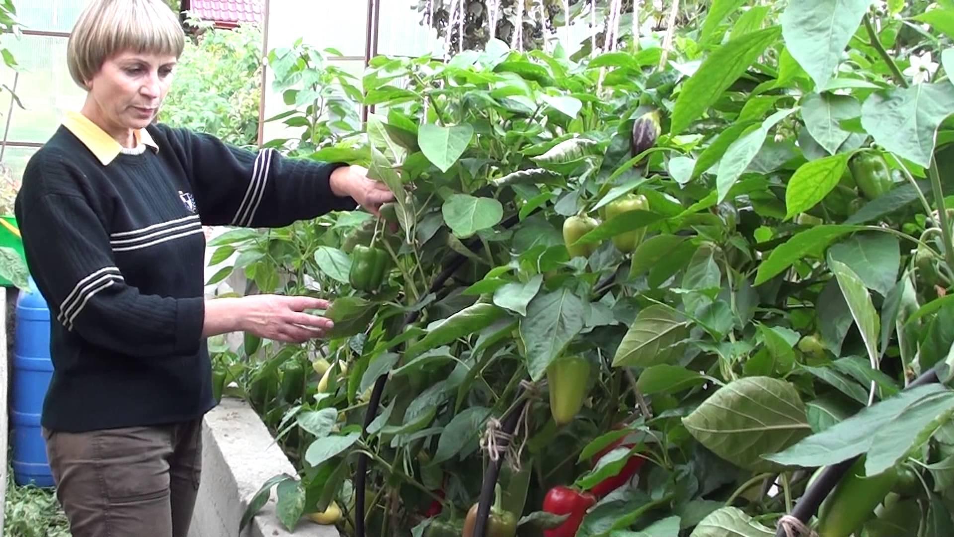 выращивания перца