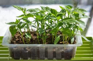 поливать рассаду перцев на подоконнике