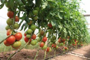 пасынковать помидоры в теплице