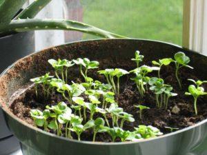 сажать базилик на рассаду