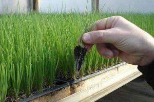 сажать лук-порей на рассаду