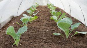 сажать цветную капусту на рассаду