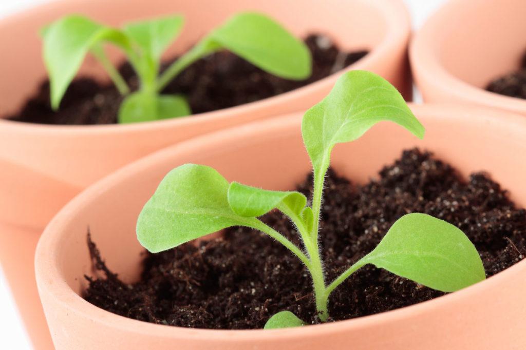 ухаживать за рассадой петунии