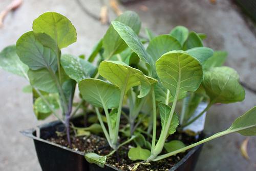 брюссельскую капусту