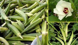 Выращивание бамии из семян