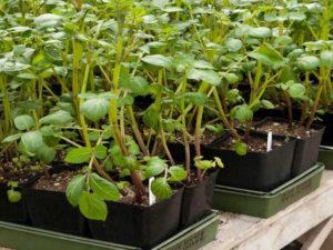 Как вырастить ранний картофель рассадой