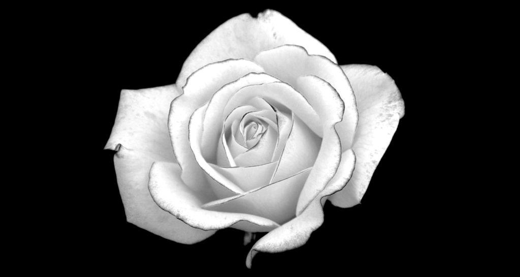 Картинки черные розы на белом фоне