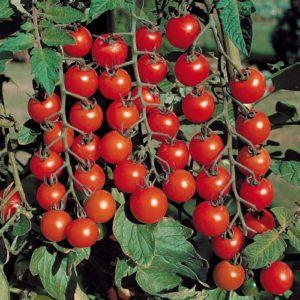 Мелкоплодные детерминантные томаты