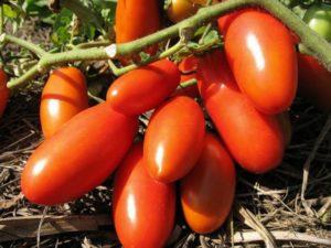 Детерминантные сорта томатов для теплиц