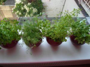 Петрушка – растение светолюбивое