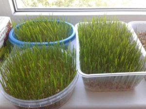 Как вырастить микрозелень в домашних условиях без земли