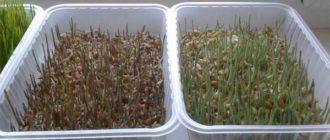 вырастить микрозелень