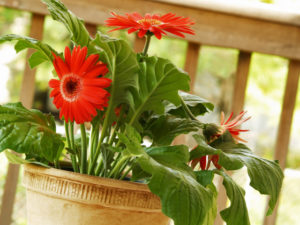 Как можно вырастить герберу из семян в домашних условиях