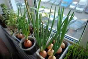 Как можно вырастить лук на подоконнике в квартире зимой