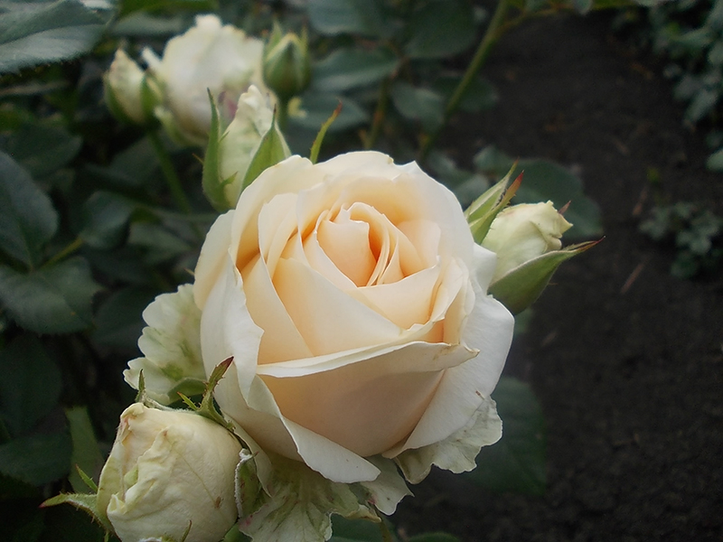 роза Аваланч как ухаживать