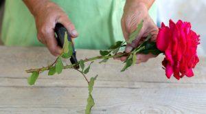 Как вырастить розу зимой из черенка из букета дома