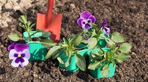 Как сажать анютины глазки на рассаду