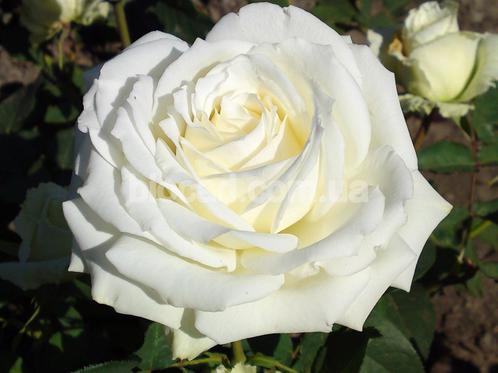 Роза Аваланч: как выращивать и ухаживать