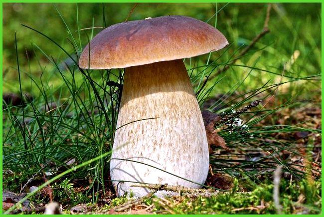 белых грибов в теплице