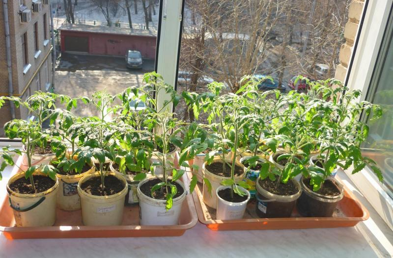 Как правильно поливать рассаду томатов на подоконнике