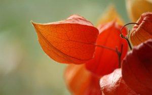 Как сажать физалис на рассаду в домашних условиях