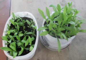 Как сеять флоксы на рассаду