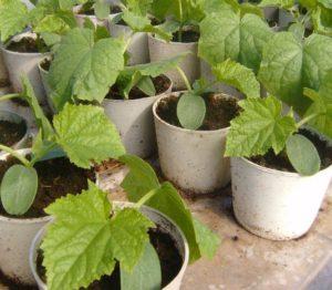 Как вырастить рассаду огурцов для теплицы
