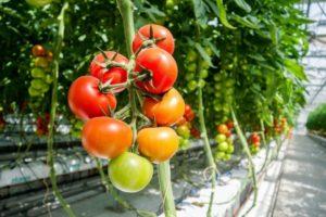 Какие самые вкусные сорта томатов для теплицы