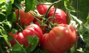 Сорта тепличных томатов, устойчивых к фитофторе