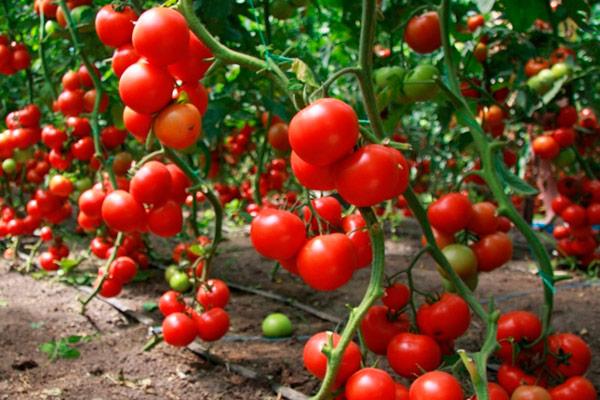 сорта томатов для теплицы из поликарбоната