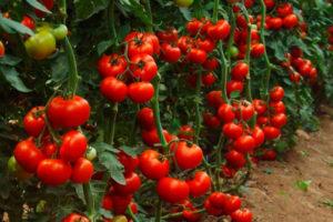 Какие сорта томатов выбрать для теплицы из поликарбоната
