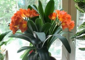 Выращивание кливии в домашних условиях и уход за ней