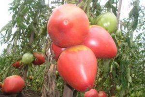 Низкорослые сорта томатов для теплиц
