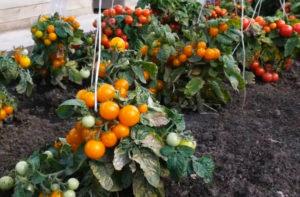 Лучшие штамбовые сорта томатов для теплиц