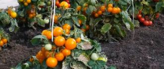 штамбовые сорта томатов