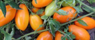 сорта томатов, не требующих пасынкования