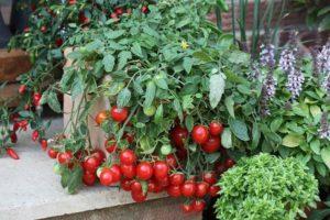 Лучшие сорта томатов черри для выращивания в теплице