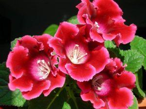 Как добиться богатого цветения глоксиний