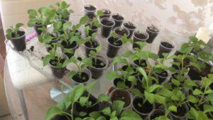 Как правильно прищипнуть рассаду петунии