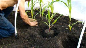 Как правильно сажать кукурузу на рассаду дома
