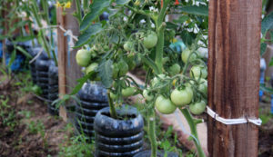 Основные способы подвязки томатов в теплице