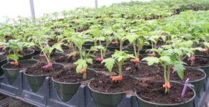 Как можно подкормить рассаду помидоров дрожжами