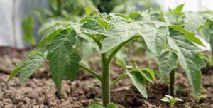 Как подкормить рассаду помидоров йодом