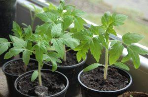 Сколько раз поливать семена после высадки