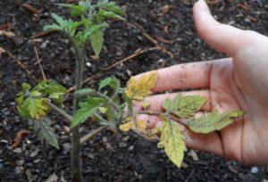 Как спасти рассаду помидоров от увядания