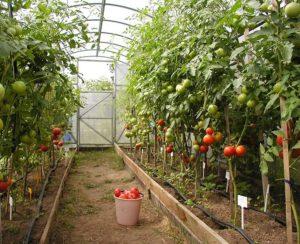 Выращивание овощей в теплице из поликарбоната