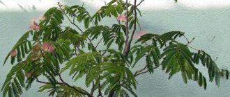 Выращивание альбиции из семян в домашних условиях